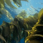 brown kelp